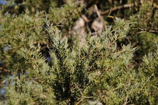 Juniperus virginiana Glauca, Virgina-Wacholder