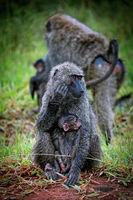 Baboon watching his baby at Lake Mburo National Park in Uganda