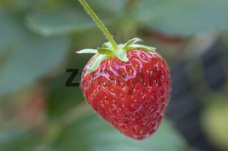 Reife Erdbeere vor Blatthintergrund
