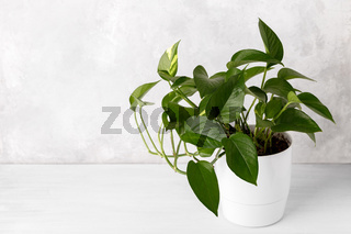 Golden pothos or devil's ivy