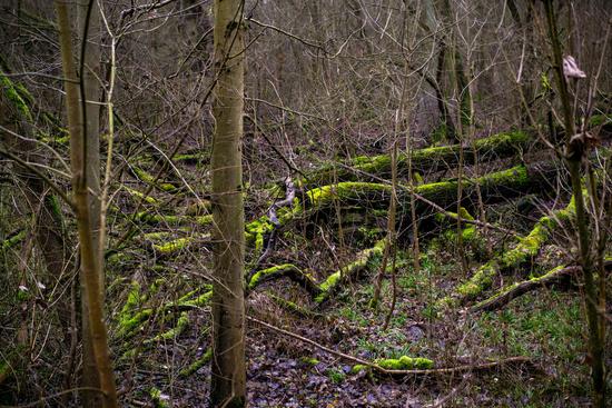 Mossy tree trunks in a dark mystic forest in Germany (Am Kühkopf). Wilderness
