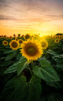 Sunflower field in Minnesota at sunset with green leaves