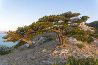 Relict junipers at the top of the mountain the morning sun.