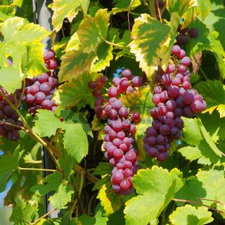 Weintraube rot - grape red 32