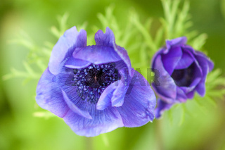 Purple garden Anemone flower detail from above, with green foliage in background