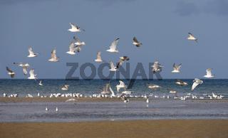 Möwen am Strand von Quineville