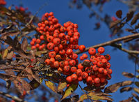 Rowan tree, Rowan berries