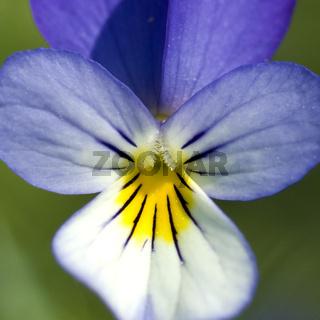 Stiefmuetterchen; Viola tricolor