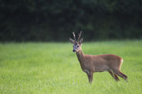 Roe Deer buck in the rut observes alert the photographer