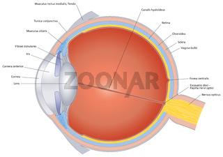 Struktur des menschlichen Auges mit Beschriftung