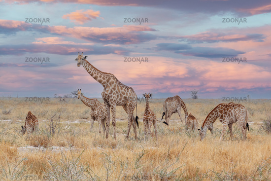 adult female giraffe with calf grazing