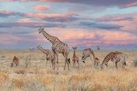 adult female giraffe with calf grazing