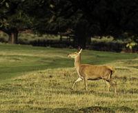 UK - Leicestershire - Bradgate Park - Fallow Deer