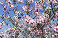 Flowering almonds against the sky.
