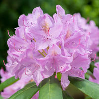 Lilac rhododendron flower close up in the garden