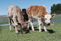 calf grazes in a green meadow
