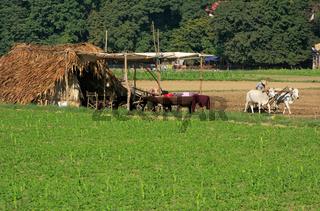 Thatched hut in a farm field, Amarapura, Myanmar