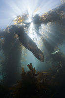 Kalifornischer Seeloewe in Kelpwald, San Benito Island