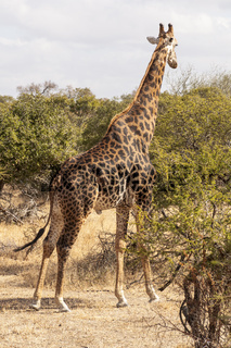 A giraffe in the Kruger National Park in the natural habitat