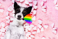 happy valentines gay pride dog in bed of marshmallows