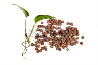 Pflanzensteckling und Tonkugeln zur Haltung von Zimmerpflanzen in Hydrokultur