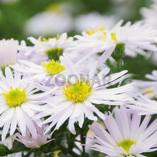 Aster weiss - Aster white 02