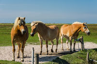 Brown horses on a meadow, Hallig Hooge, North Frisia, Schleswig-Holstein, Germany