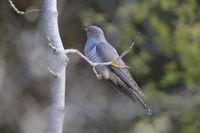 common cuckoo (Cuculus canorus) Oeland Sweden