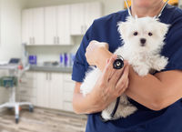 Female Doctor or Nurse Veterinarian with Small Puppy In Office