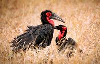 southern ground hornbills, Kruger NP, South Africa