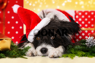 Chinese crested powderpuff dog with christmas gifts