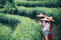 Girls wearing traditional chinese Asian hats collecting tea on a plantation