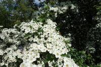 20200506_Crataegus monogyna, Eingriffliger Weißdorn, Common Hawthorn012Rosenkäfer, Rose Chafer.jpg