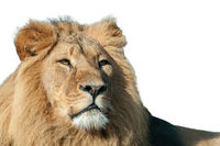 Portrait of proud lion isolated on white