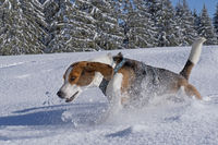 beagle in winter