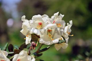 White flowers (Datura) in closeup in Palmen Garten, Frankfurt am Main, Hessen, Germany