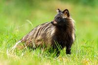 Unaware raccoon dog looking behind on a green meadow in summertime