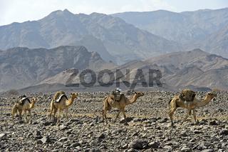 Dromedar-Karawane der Afar Nomaden in de Steinwüste, Danakil Depression, Äthiopien
