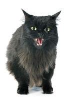 furious cat