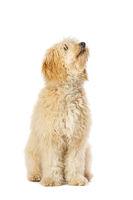 Golden Doodle dog