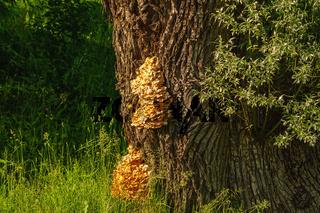 Sulphur shelf fungus