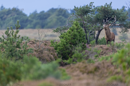 A Red Deer stag in the rutting season in a heathland / Cervus elaphus