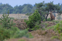 A Red Deer stag in the rutting season in a heathland / Cervus elaphus
