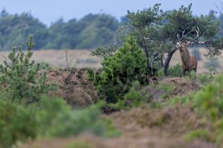 Ein Rothirsch waehrend der Brunft in einer Heidelandschaft