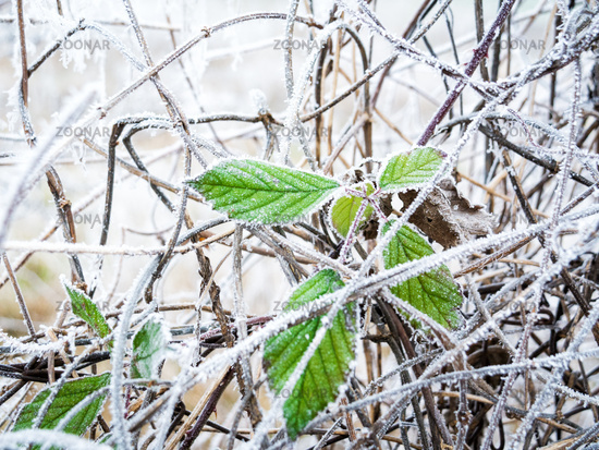 Green leaf in winter at hoarfrost
