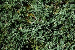 Juniperus horizontalis Wiltonii, Kriechwacholder
