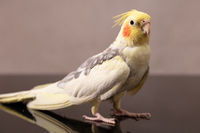 portrait of a parrot corella with pink cheeks and a tuft on his head
