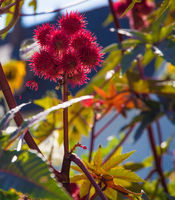Red prickly fruits from the miracle tree in the backlight