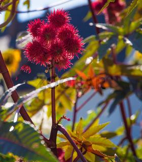 Rote stachelige Früchte vom Wunderbaum im Gegenlicht