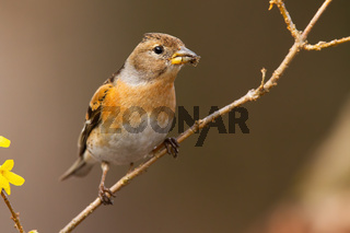 Interested brambling female sitting on diagonal twig in garden during springtime